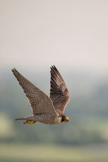 Peregrine Falcon * Falco peregrinus * in flight, high up in the sky