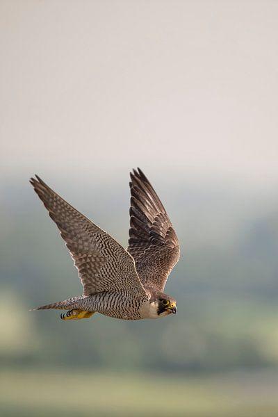 Peregrine Falcon * Falco peregrinus * in flight, high up in the sky van wunderbare Erde