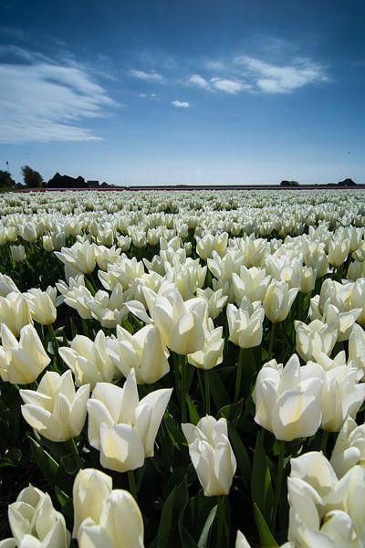 veld met witte tulpen