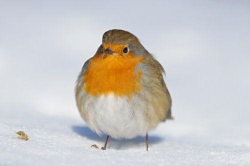 Roodborst in de sneeuw van