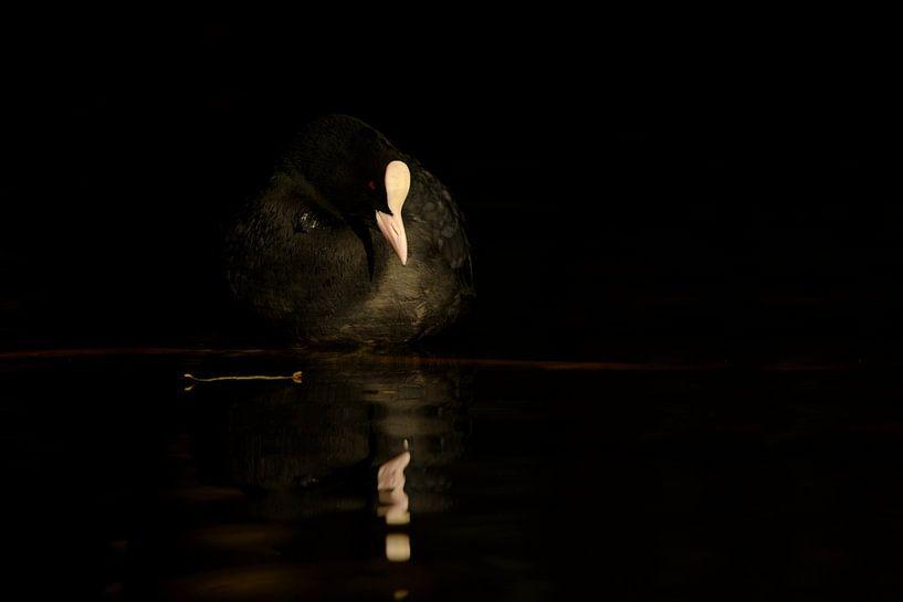 Meerkoet in exacte licht van Remco Van Daalen