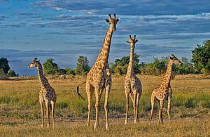 quatre girafes van