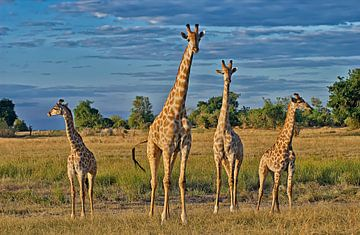 vier Giraffen auf der Reihe von Jürgen Ritterbach