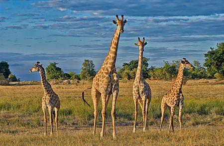 vier Giraffen auf der Reihe