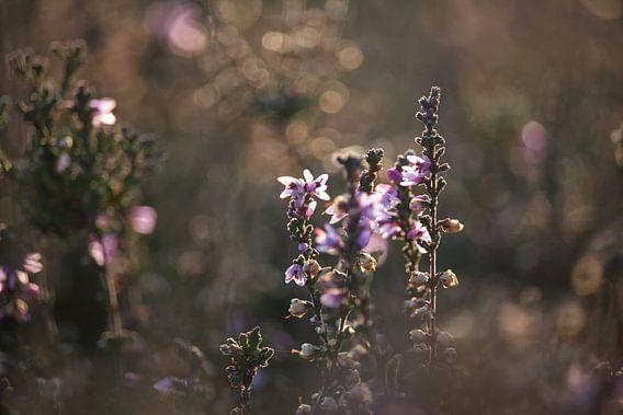 Roze Heide van Jessica Van Wynsberge