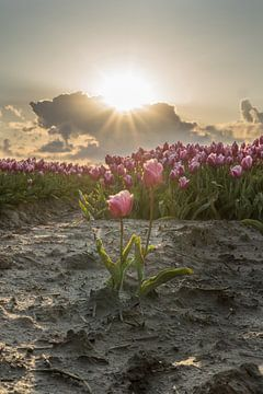 Tulpen zwischen den Sonnenstrahlen von Rossum-Fotografie