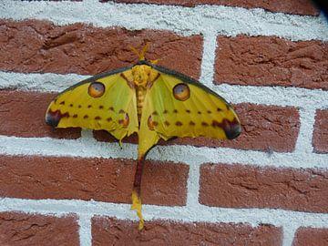 Een vlinder die tegen de muur aanzit. van Wilbert Van Veldhuizen