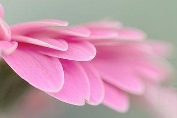 Gerbera rosa von Kim Hiddink