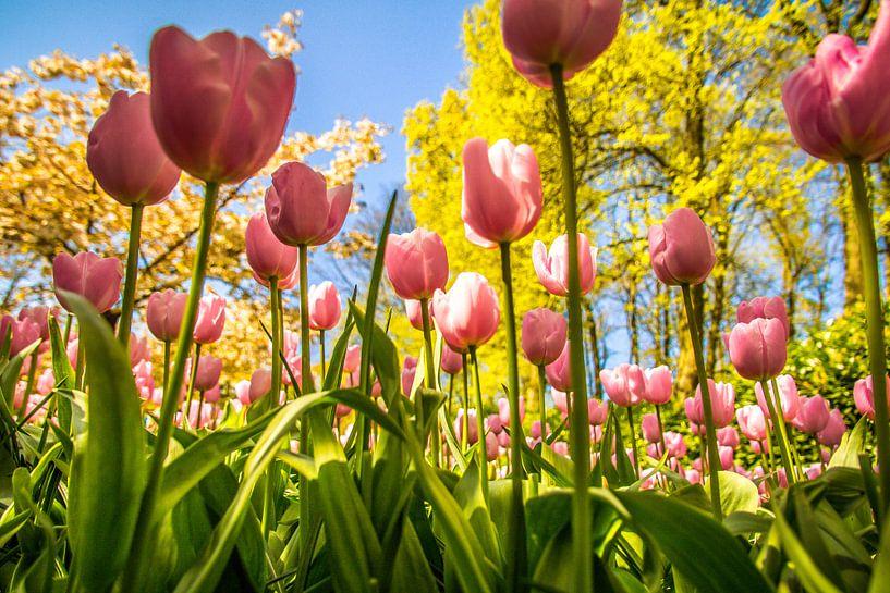 Prachtige roze tulpen van Koop je Canvas