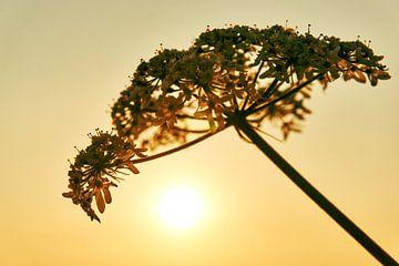 Uitgebloeide bloem sur Harry Wedzinga