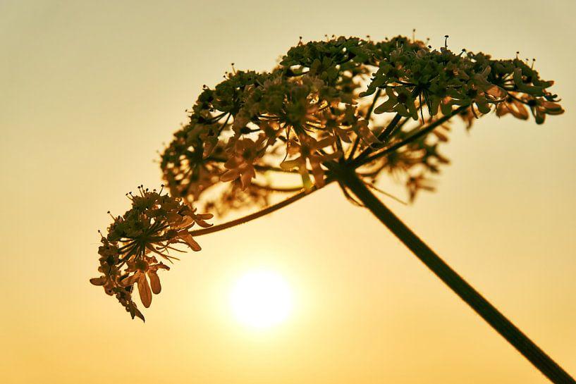 Uitgebloeide bloem van Harry Wedzinga
