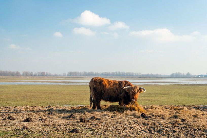 Schotse Hooglander eet hooi van Ruud Morijn
