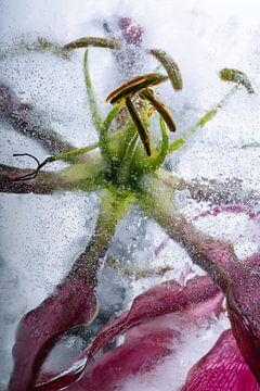 Gloriosa in kristalhelder ijs van Marc Heiligenstein