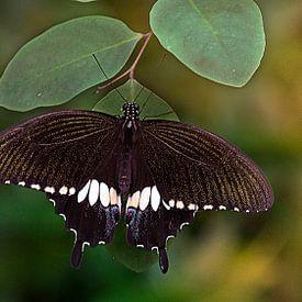 Battus vlinder van I Kroft