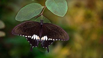 Battus vlinder von Ingrid Woudsma