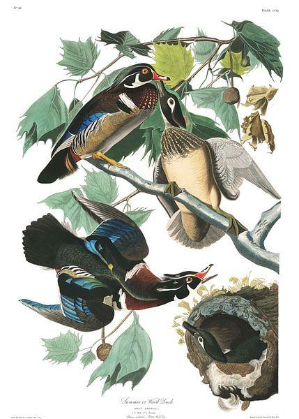 Carolina-Eend van Birds of America