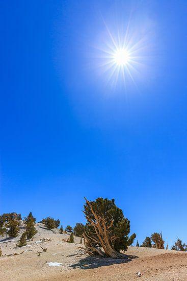 Bristlecone Pine Forest, California, USA.