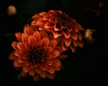 Dahlie Blumen von Saskia Schotanus