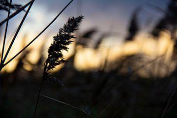 graan stengel bij zonsondergang van wiesje van den broek