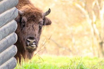 Machtige bizon steekt schaamteloos zijn tong uit... van Christian Feldhaar