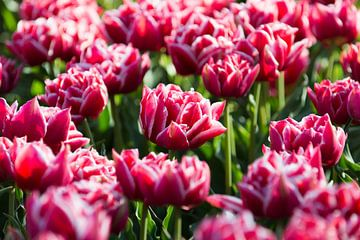 Tulips, Lisse sur Johan van Venrooy