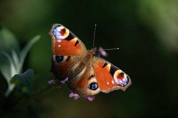 Pfauenauge Schmetterling auf einem Schmetterlingsbusch von KB Design & Photography (Karen Brouwer)