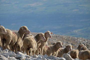 Schapen op de Mont Ventoux van Myrte Wilms