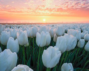 Prachtige witte tulpen tijdens zonsopgang van Nick de Jonge - Skeyes