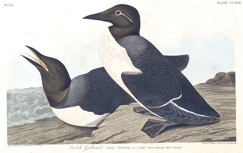 Zeekoet van Birds of America