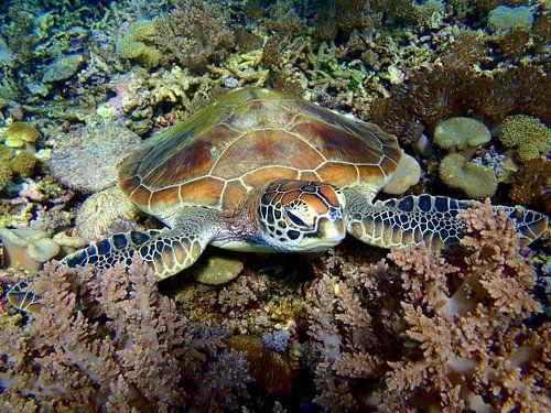Zeeschildpad van Harm Ormel