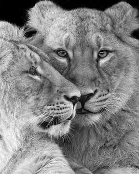 Gros plan de deux lionceaux sur Patrick van Bakkum