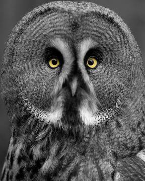 Lapplandeule, die Sie mit stechenden Augen ansieht (Sonderausgabe) von Patrick van Bakkum