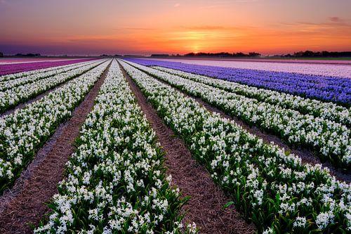 kleurrijk bloembollenveld van