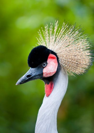 Kraanvogel van Guido Akster