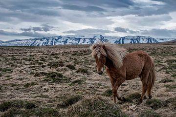 IJslands Paard van Ruud van der Lubben
