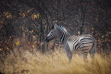 Zebra van Guus Quaedvlieg