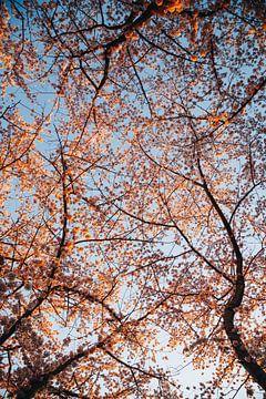 Kersen bloesem bomen in de lente, Japanse Sakura in Almere, Nederland III   Fine art botanische prin van Evelien Lodewijks