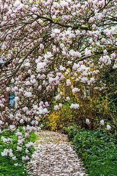 tuinpad bedekt met bloesem van magnolia van Margriet Hulsker