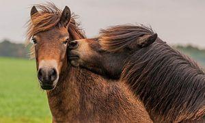 Liefkozende pony's
