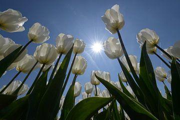 Witte tulpen met zon tegen blauwe lucht von Gerard Veerling