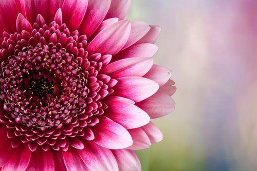 Roze gerbera
