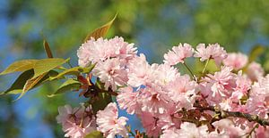 Kirschblütenzweig van
