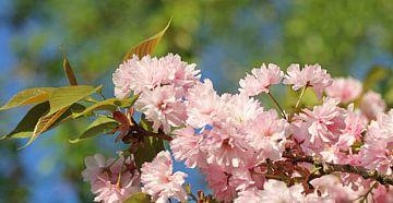 Kirschblütenzweig van Susanne Bauernfeind