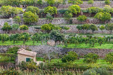Obstterrassen beim Dorf Fornalutx, Mallorca von Christian Müringer