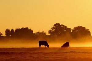 Koeien in de mist sur hans van dorp