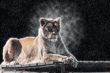 Leeuwin in de regen van Fotografie Jeronimo