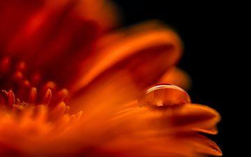 Heiteres Bild eines Tropfens auf einer orangefarbenen Gerbera von Jenco van Zalk