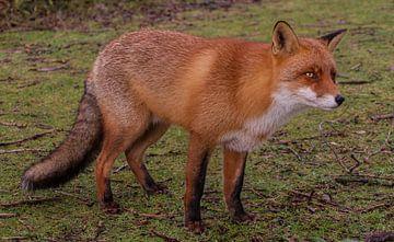 Schöner Fuchs in der Nähe in den Amsterdamer Wasserdünen von Wesley Klijnstra