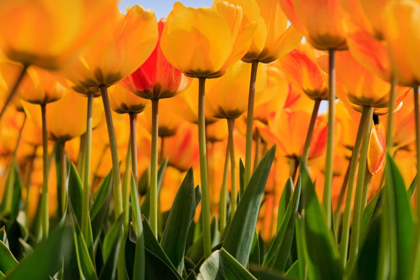 Tulpen van gaps photography