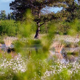 Wollgräser im Moor von Kurt Krause